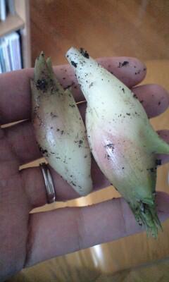 ミョウガの初収穫